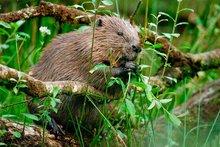 Центр зоозащиты: бобров в Москве убивают из арбалета?